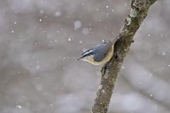 super snowy nuthatch ( explore ) (G_Anderson) Tags: nuthatch missouri winter birding backyard