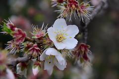 The almond blossom festival, Valle dei Templi, Agrigento, Sicily 001 (28) (tango-) Tags: valledeitempli agrigento sicilia sicily italia italy sicilya sicile σικελία szicília 시칠리아 סיציליה сицилия صقلية tiberiofrascari