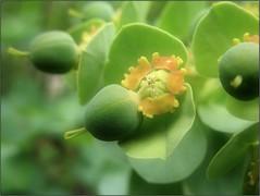(Tölgyesi Kata) Tags: euphorbia budaiarborétum arboretum withcanonpowershota620 wolfsmilch garden macro felsőkert budapest spring tavasz