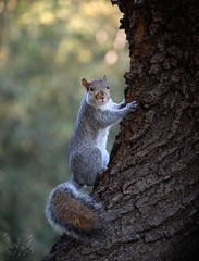 Grigio (Eros Penatti) Tags: scoiattologrigio sciuruscarolinensis scoiattolo monza parcodimonza lombardia italia