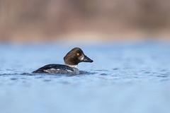 Common Goldeneye (juvenile male) (ayres_leigh) Tags: bird duck goldeneye nature canon lasalle burlington water ontario