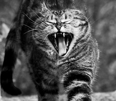 Stretch (Zèè) Tags: cat chat cats tabby tigre tiggy yawn sleepy black blanc bw blackandwhite white monochrome noir noirblanc