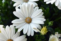 White dress (Pensive glance) Tags: daisy marguerite flower fleur