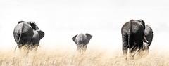 _A120075 (BergsPix) Tags: elephants africa kenya safari amboseli masaai mara samburu tusks mammals