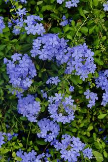 Close-up Blue Flowers - Galle Sri Lanka
