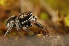 Pellenes cf. brevis ♂ (AquaNat-photo) Tags: jumpingspider arachnid arthropod araignéesauteuse salticidae saltique salticidé france mpe mpe65mm