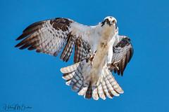 _HIL1926 (Hilary Bralove) Tags: birdsofprey osprey colorado wildlife birds nikon nature wild photography bird