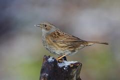K32P1651c Dunnock, Lackford Lakes, January 2019 (bobchappell55) Tags: lackfordlakes nature wild wildlife bird suffolk dunnock woodland prunellamodularis snow