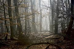 Speuldersbos (jan_vrouwe) Tags: beech trunk beechforest forest mist autumn fall beukenbos speuldersbos drie