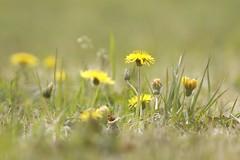Dandelion-01 (itsuo.t) Tags: wildgrass wildflower dandelion yellowflower yellowcolors