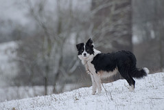 Jet waiting .... (A child in the night) Tags: jet bordercollie sheepdog waiting