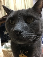 Bonkers Wants His Second Dinner 3 (sjrankin) Tags: 14march2019 edited animal cat closeup livingroom kitahiroshima hokkaido japan bonkers tunic floor blurry