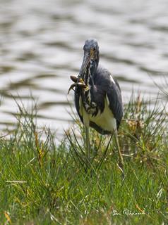 Little Blue Heron-Emerson Preserve Palmetto Florida-3