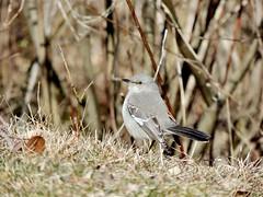 Northern Mockingbird, Bucks County, PA, March 2019 (sstaedtler) Tags: wildlife nature outside birding mockingbird buckscounty pennsylvania bird animal