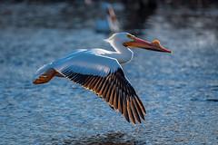 20190408-DSC_7334.jpg (GrandView Virtual, LLC - Bill Pohlmann) Tags: bird americanwhitepelican wisconsin wildlife waterfowl stcroixriver northhudsonwi