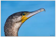 Great Cormorant (Bear Dale) Tags: great cormorant scientific name phalacrocorax carbo ulladulla southcoast new south wales shoalhaven australia beardale lakeconjola fotoworx milton nsw nikond850 photography framed nature nikon d850 nikkor afs 200500mm f56e ed vr
