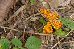 Chersonia risa ssp. risa - Chiang Dao_20180203_1517_DSC_7902_DxO (I love comments but delete awards - Jan F. Rasmuss) Tags: cyrestinae chiangmai chiangmaiprovince chiang chiangdao nymphalidae nymphalid nymphalids thailand d800 butterfly butterflies macro closeup insecta lepidoptera rhopalocera nikon janfischerrasmussen janfrasmussen asia southeastasia 2018 chersoniarisassprisa chersoniarisa chersonia risa