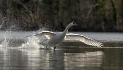 Amerrissage - Splashdown (dom67150) Tags: animal oiseau bird nature wildlife cygentuberculé muteswan cygnusolor amerrissage splashdown