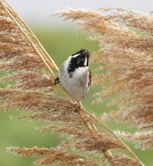 _MG_1142 Reed Bunting (sam.creighton) Tags: bird bunting reedbunting emberizaschoeniclus male canon eos 7d ef400mm f56l usm ousewashes suttongault cambridgeshire uk