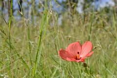 (shaneblackfnq) Tags: flower plant grass bush flora shaneblack mt mount molloy fnq far north queensland australia tropics tropical