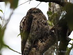 northern potoo on Sierra de Bahoruco mountain road (Pete Read) Tags: northern potoo sierra de bahoruco park dominican republic