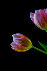 Tulipa 6 (kudi.buehlmann) Tags: nikon sigma flowers nature tulip tulpe tulipa blume schnittblume macro rosa farbig studio