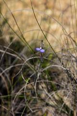 Comesperma defoliatum F.Muell. ([S u m m i t] s c a p e) Tags: summer bellslineofroad blue comespermadefoliatum polygalaceae bluemountains bell belltrig nativeplants