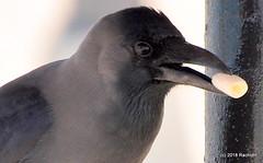 DSC_0564 (RachidH) Tags: birds oiseaux crow corvids corvidae corvus redsea egypt housecrow corvussplendens corbeau corneille corbeaufamilier rachidh nature