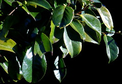 2019_01_13_9999_82 (Talisman Pickering) Tags: leaf leaves branch closeup forest tree