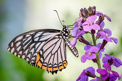 Common Mime with Wallflowers (helenehoffman) Tags: wallflower flowers butterfly sandiegozoosafaripark butterflyjungle invertebrate erysimum insect arthropod animal coth coth5 commonmime chilasaclytia swallowtail southandsoutheastasia