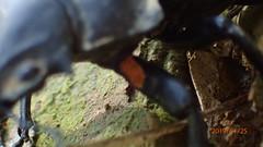P1255549 (yangklin) Tags: 光明山稜線 鍬形蟲