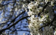 Cherry blossoms, bee time (KF-Photo) Tags: 1610 ast bee biene blüten cherryblossoms heuberg kirschblüten kirschstempel tübingen