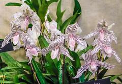 Orchid show-4135 (kasiahalka) Tags: 2019orchidshow asheville flower flowers nc ncarboretum northcarolina orchid orchids westernnorthcarolina wnc