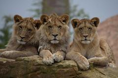 N'goro, Tsavo & Namiri @ Zoo de Beauval 17-05-2019 (Maxime de Boer (2)) Tags: ngoro tsavo namiri african lion afrikaanse leeuw panthera leo big cats katachtigen zoo parc de beauval saintaignan france animals dieren dierentuin gods creation schepping lioness leeuwin