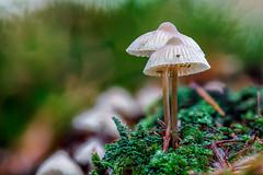Mycena galericulata (R. Engelsman) Tags: mycenagalericulata fungi fungus fungo mushroom champignon pilze paddenstoel forest nature natuur autumn herfst herbst macro kaapsebossen netherlands nederland nl canon sigma 105mm mycena