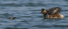 Black neck Grebe - Where did you get to? (Ann and Chris) Tags: blackneckedgrebe avian adorable awesome beautiful gorgeous impressive grebes two stunning unusual wild waterbird wildllife waterbirds