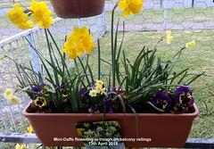 Mini-Daffs flowering in trough on balcony railings 13th April 2019 (D@viD_2.011) Tags: minidaffs flowering trough balcony railings 13th april 2019