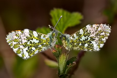 Male Orange Tip Butterflies (Anthocharis cardamines) (DerekL1) Tags: orangetip chasewater anthochariscardamines butterfly lepidoptera insect canon7d2 sigma15028macro