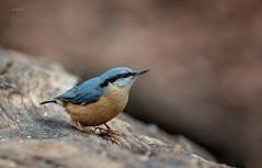 Kleiber (THW-Berlin) Tags: birds vögel aves animals tiere sigma 135mm sony kleiber nuthatch
