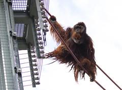 "Orangutan on the ""O line"" National Zoo (CGDana) Tags: national zoo smithsonian dc district us mammal mega fauna canon 7d mk2"