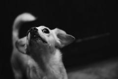 Janet Snakehole (boyoma) Tags: dog fujixt20 fujifilm 7artisans 7artisans35mm 7artisans35mmf12 blackandwhitephotography