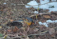 Backyard Forager (Neal D) Tags: bc abbotsford bird thrush variedthrush ixoreusnaevius