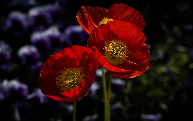 Обои макро, красный, анемон картинки на рабочий стол, раздел цветы - скачать