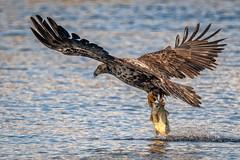 Blinged (jmishefske) Tags: mature bald nikon petenwell d500 flying february catching eagle juvenile dam banded bird immature bling wisconsin fish 2019 bif necedah