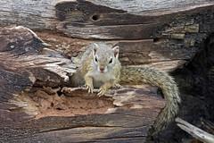 Smith's bush squirrel  (Paraxerus cepapi)  Сероногая кустарниковая белка (Mikhail & Yana) Tags: krugernationalpark nature wildlife mammal animal squirrel smithsbushsquirrel paraxeruscepapi сероногаякустарниковаябелка