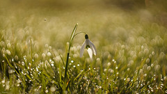 Beautiful Snowdrop on Bokeh Background... (Piet photography) Tags: bokeh snowdrop morning dew vintage lens swirly helios44m