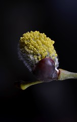 WIllow, from silver to yellow (simon edge) Tags: willow macro nikon d5100 40mm stacked combinezp