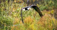 Cruising (4thmedium) Tags: bald eagle raptor yellow field autumn