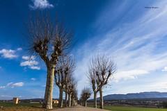 cami. (nuria_brianso) Tags: outside camí camino plataners osona coth5 landscape paisaje paisatge catalunya planadevic trees arbres hivern winter