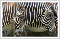 Qui se ressemble s'assemble  - (diaph76) Tags: extérieur zoo animaux animals zèbre zebra rayures france